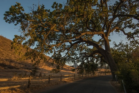 Window into Agoura Hills giant oak tree on a Cheeseboro country road